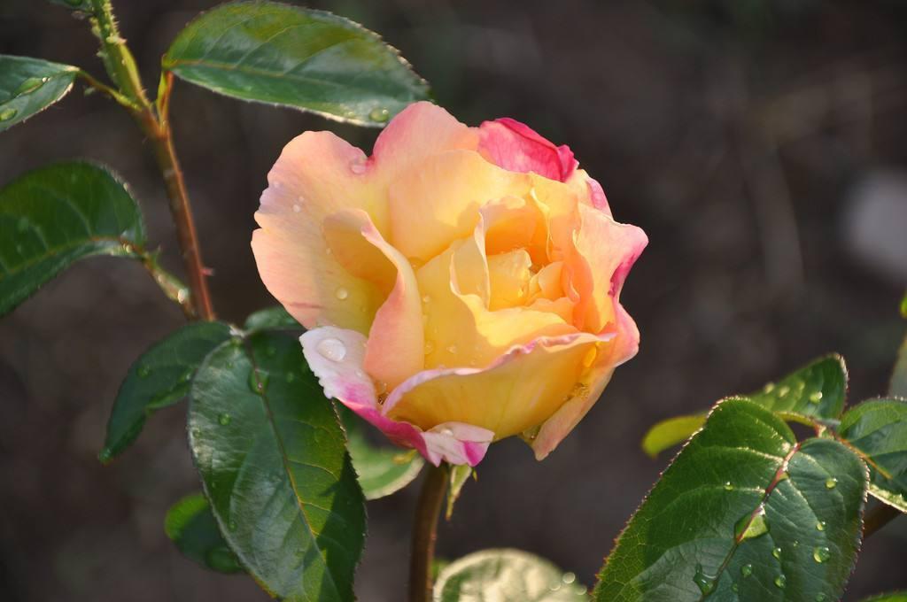 情侣之间送什么颜色的玫瑰花好